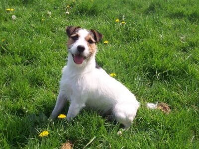 Jack-Russell_Terrier