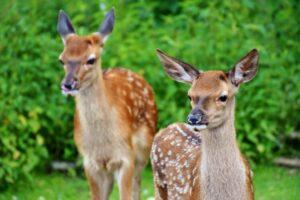 two, wild, deers
