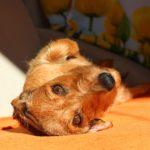dachshund-2264020_1920