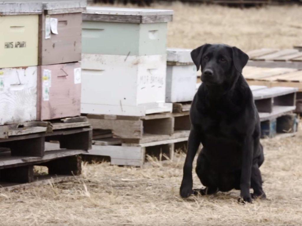 cani che aiutano le api