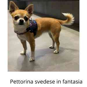 Pettorina